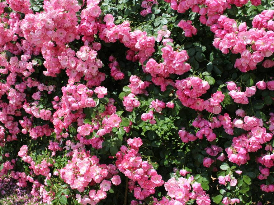 靭公園の薔薇を一挙にご紹介
